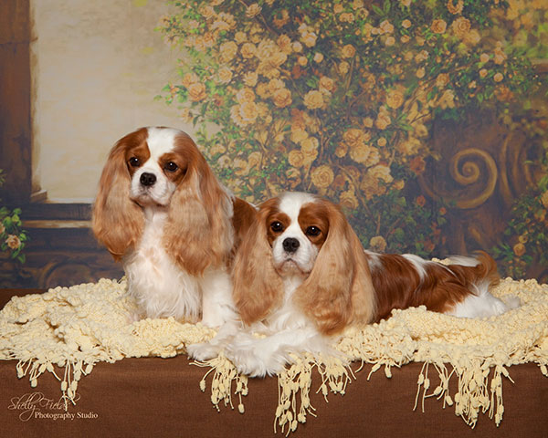 CKCSC-USA & AKC Grand Champions Covington Elphaba & Covington True Blood