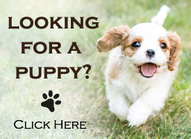 Looking for a puppy? Click here.